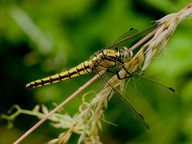 This image has an empty alt attribute; its file name is black-tailed-skimmer.jpg